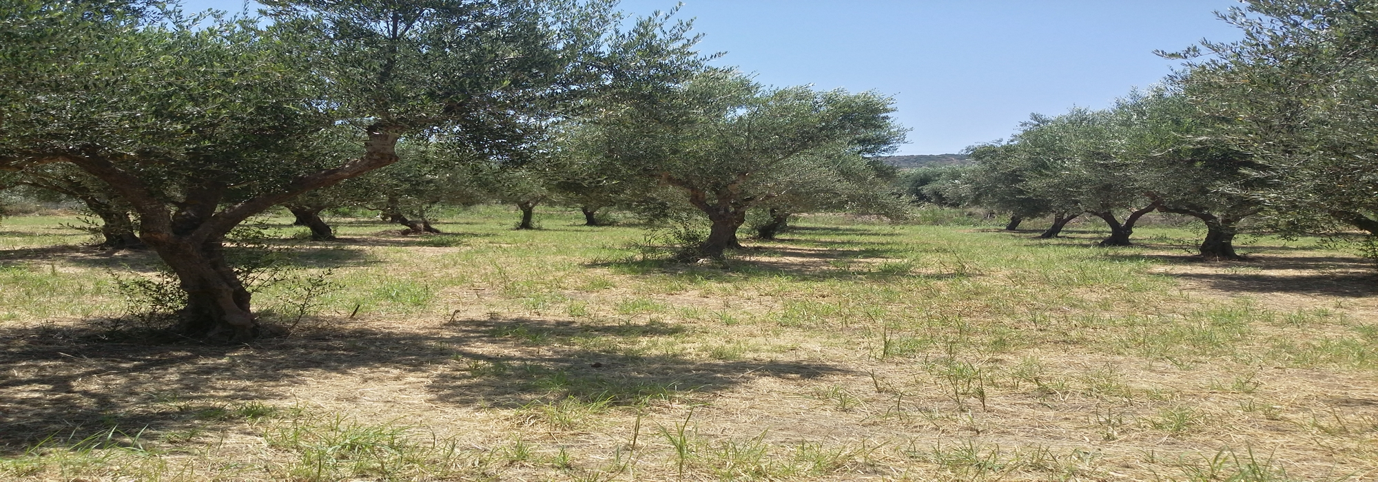 OLIVE GROVE FOR SALE – PANIPERI